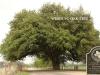 Wedding Oak